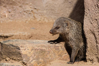 Photograph - Loose Mongoose by Harry Strharsky