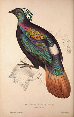 Asian Artist Drawing - Lophophorus Impeyanus Male, Himalayan Monal Pheasant. Birds by Quint Lox