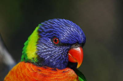 Photograph - Lorikeet 3 by Colleen Renshaw