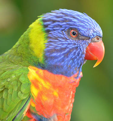 Photograph - Lorikeet Profile by Richard Bryce and Family
