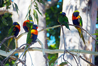 Photograph - Lorikeet Scratch by Glen Johnson