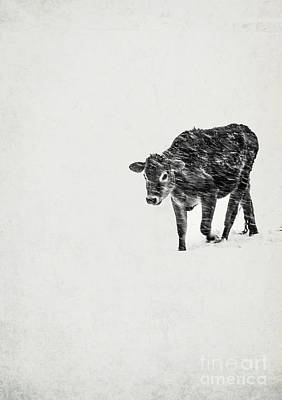 Lost Calf Struggling In A Snow Storm Art Print by Edward Fielding