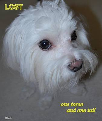 Maltese Puppy Photograph - Lost by Mary Beth Landis