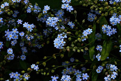 Photograph - Lots And Lots Of Forget Me Nots by Byron Varvarigos