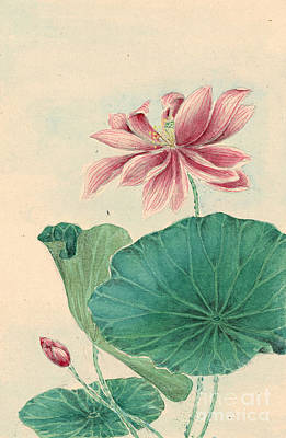 Lotus 1870 Art Print by Padre Art