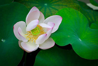 Photograph - Lotus 2 Singapore Flower by Donald Chen