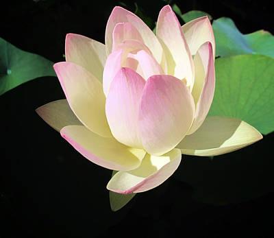 Lotus 9 Art Print by Dawn Eshelman