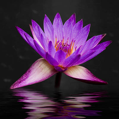 Reflecting Water Photograph - Lotus by Adam Romanowicz