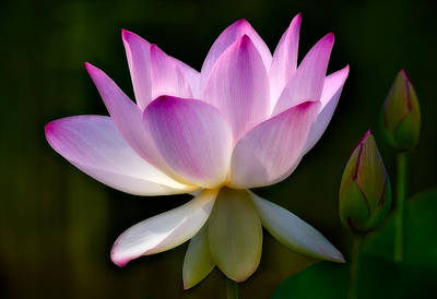 Lotus Flower Photograph - Lotus And Buds by Susan Candelario