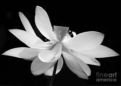 Florida Flowers Photograph - Lotus Ballerina by Sabrina L Ryan