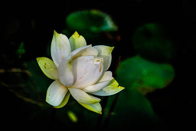 Lotus Bloom Original
