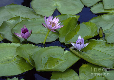 Photograph - Lotus Blooms by Craig Lovell