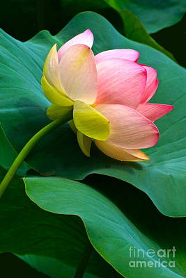 Lotus Blossom And Leaves Art Print