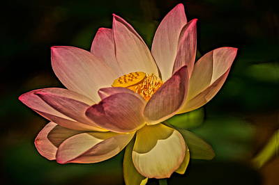 Photograph - Lotus Blossom by Julie Grandfield