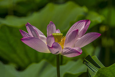 Photograph - Lotus Blossom by William Bitman