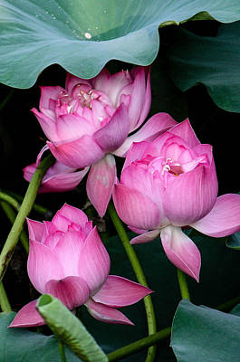 Photograph - Lotus Cluster by Karen Saunders