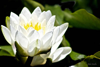 Photograph - Lotus by Debra     Vatalaro