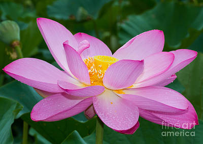 Lotus Dew Art Print by Dale Nelson