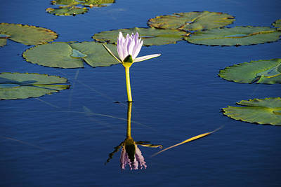 Photograph - Lotus Dreaming 2 by Ankya Klay