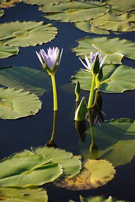 Photograph - Lotus Dreaming 5 by Ankya Klay