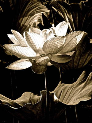 Photograph - Lotus Fantasy by Larry Knipfing
