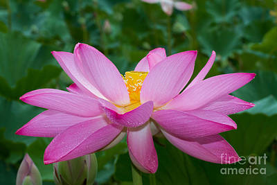 Lotus Flower 2 Art Print by Dale Nelson