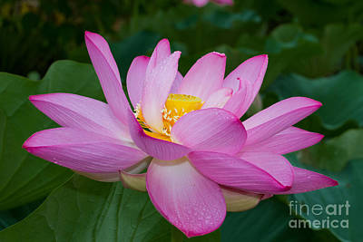 Photograph - Lotus Flower 3 by Dale Nelson