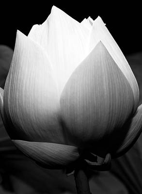 Photograph - Lotus Flower 3 by Kara  Stewart