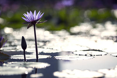 Lotus Flower Photograph - Lotus Flower Bloom by Cho Me