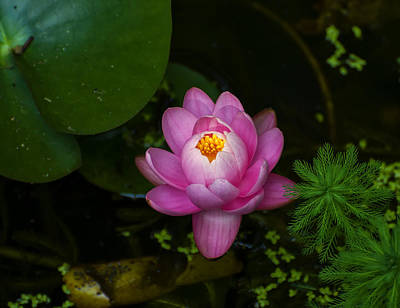 Digital Art - Lotus Flower by Chris Flees