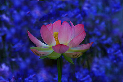 Photograph - Lotus Flower In Blue by Beth Sargent