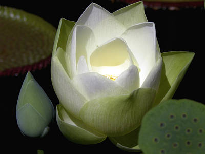Lotus Flower In White Art Print by Julie Palencia