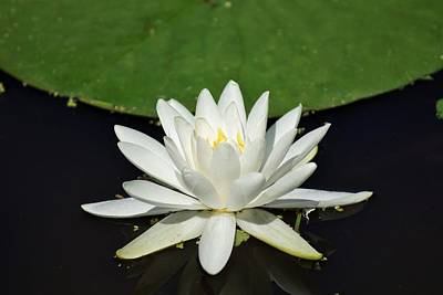 Photograph - Lotus Flower by Jean Goodwin Brooks