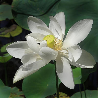 Photograph - Lotus Flower by Joseph G Holland