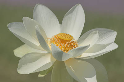 Lotus Flower Photograph - Lotus Flower by Kim Hojnacki