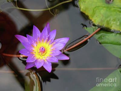 Photograph - Lotus Flower by Rick Piper Photography