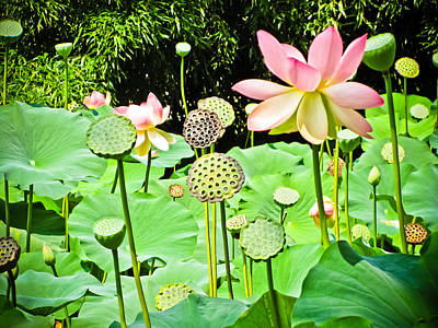 Photograph - Lotus Flowers And Pods by Colleen Kammerer