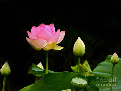 Photograph - Lotus Full Lotus Bright by Byron Varvarigos