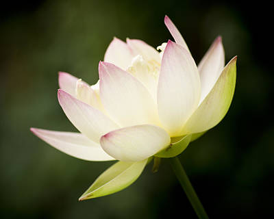 Photograph - Lotus Glow by Priya Ghose