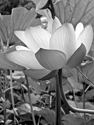 Photograph - Lotus Heaven - 102 by Larry Knipfing