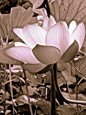 Photograph - Lotus Heaven - 104 by Larry Knipfing