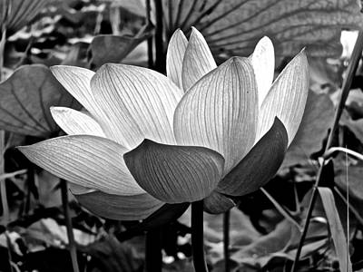 Photograph - Lotus Heaven - 109 by Larry Knipfing
