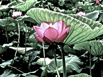 Photograph - Lotus Heaven - 114 by Larry Knipfing