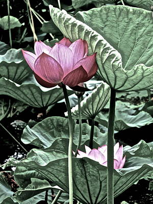 Photograph - Lotus Heaven - 118 by Larry Knipfing