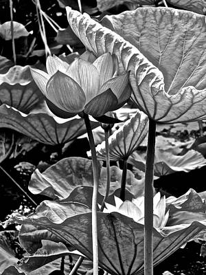 Photograph - Lotus Heaven - 119 by Larry Knipfing
