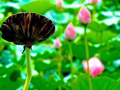Photograph - Lotus Heaven - 133 by Larry Knipfing