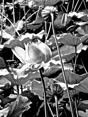 Photograph - Lotus Heaven - 134 by Larry Knipfing
