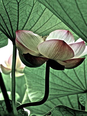Photograph - Lotus Heaven - 2 by Larry Knipfing