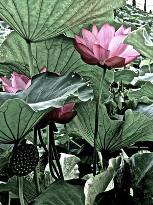 Photograph - Lotus Heaven - 24 by Larry Knipfing