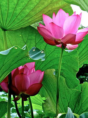 Photograph - Lotus Heaven - 31 by Larry Knipfing